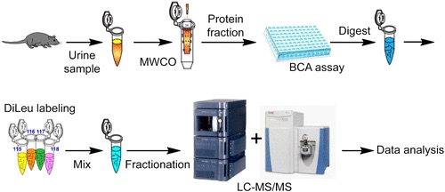 Graphical abstract for Hao et al, depicting the quantitative proteomic analysis of mice urine.